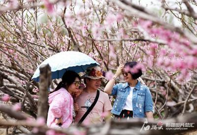 追着花儿游新疆·三天慢直播带你看石河子8000亩桃花开